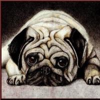 色鉛筆画350 (犬・パグ)