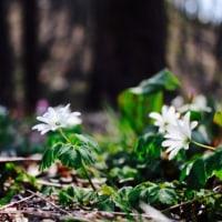 カタクリ桜まつり