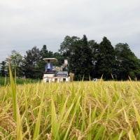 稲刈り開始しました。