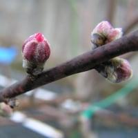 大根の栽培2017年春、発芽が始まった、桃の開花は?