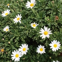 「おはようの花」 マーガレット1月