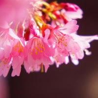 富士桜 (花 4301)