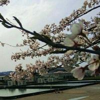 桜と緩速ろ過池と福耳