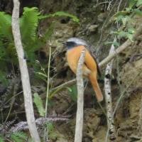 胸のオレンジ色が鮮やかなジョウビタキ