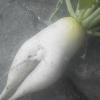 セクシー大根収穫でびっくりぽんや!
