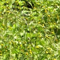 川の土手にコセンダングサの花