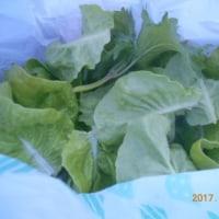 今日の収穫 イチゴ キヌサヤ スナップエンドウ ニンジン サラダ菜