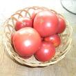 トマト「大安吉日」の出荷始めました