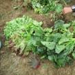 ジャガイモを掘ってみました!