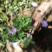 昨日買ってきた花を植えました