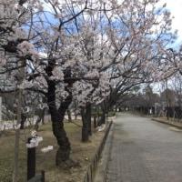 桜さん、まだひっそりと…  〈  造幣局  〉