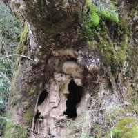 赤谷林道脇の巨樹