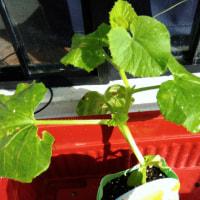 今日はメロン コロコロを水耕栽培で植え付けます。