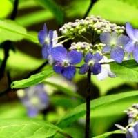 相模原麻溝公園「アジサイフェア」を前に開花の兆し