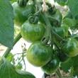 【畑の様子】ほうれん草、オクラ、さつまいも、枝豆、トマト、人参