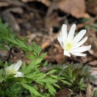 季節の花   キクザキイチゲ