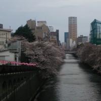 目黒川、目黒新橋付近の桜 2017