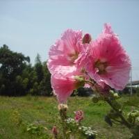 もう梅雨明け タチアオイの花は一番上へ