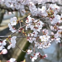 近所の桜まつりへ。。。十四川☆