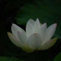 レンコン畑のハスの花