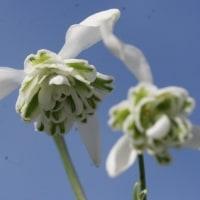 八重咲スノードロップの花..