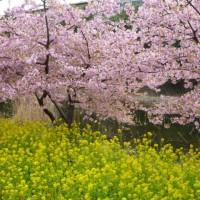 家の近所の河津桜と菜の花