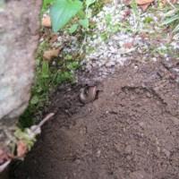 トカゲの産卵場所発見