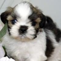 マンションで飼いやすい犬種/シーズー/子犬/ペット仙台/栗原市/登米市