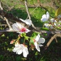 桜の狂い咲き