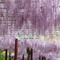 美しい藤の花