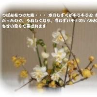 可愛い水仙・蝋梅のつぼみが開きかけていました~ よ~