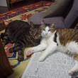 家のおばさん猫 クル