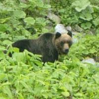 北の大地のアニマルウォッチング6種目はヒグマ