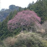 待ちどうしい桜の開花