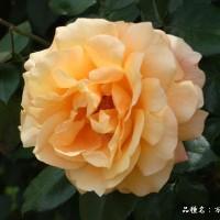 春バラ その11