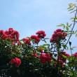花菜ガーデン再訪