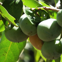 初秋の柿の実