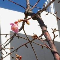 百三歳と早咲き桜