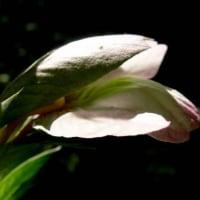 アカンサス・モリス  Acanthus mollis