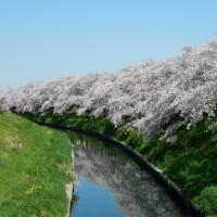 4月13日(木) 五条川の桜、カングーのタイヤとオイルの交換
