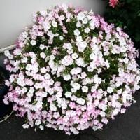 看板の下のお花が満開