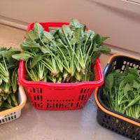 ホウレン草 タップリ収穫です