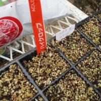 ズッキーニの種蒔き
