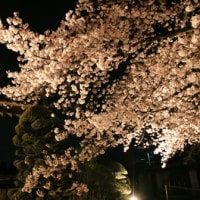 ライトアップに輝く桜..