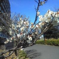 梅・・・ 冬の庭に彩りを添えて香りも楽しめます