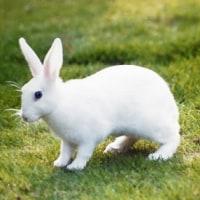 ミニウサギ「ウーちゃん」の思い出。