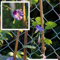 朝顔 青紫条斑点絞り と 四角豆 2016.10.24