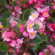 梅雨時の花「ゼフィランサス」「半夏生」「ベコニア」