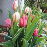 咲いた 咲いた チューリップ。