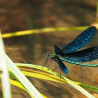 清流の青い宝石アオハダトンボ